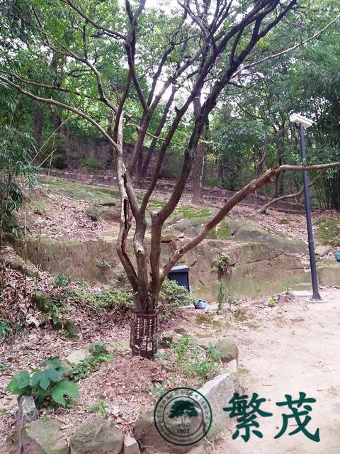 古树名木保护、苏州古树、古树名木复壮(查看)
