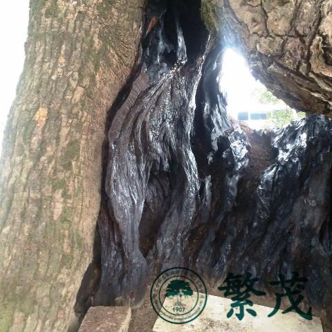 古树名木抢救|古树|繁茂古树保护