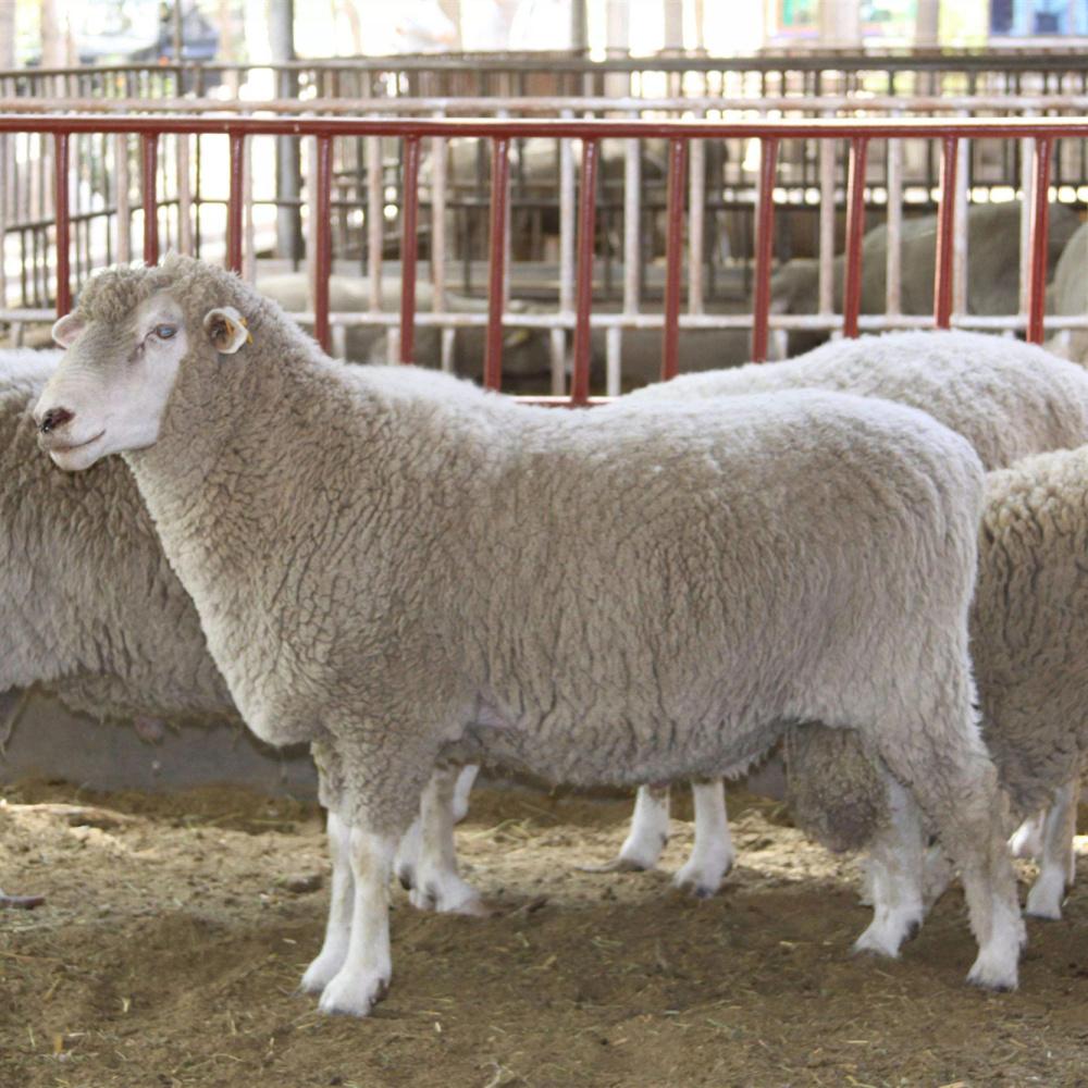 奶山羊产奶期吃的饲料