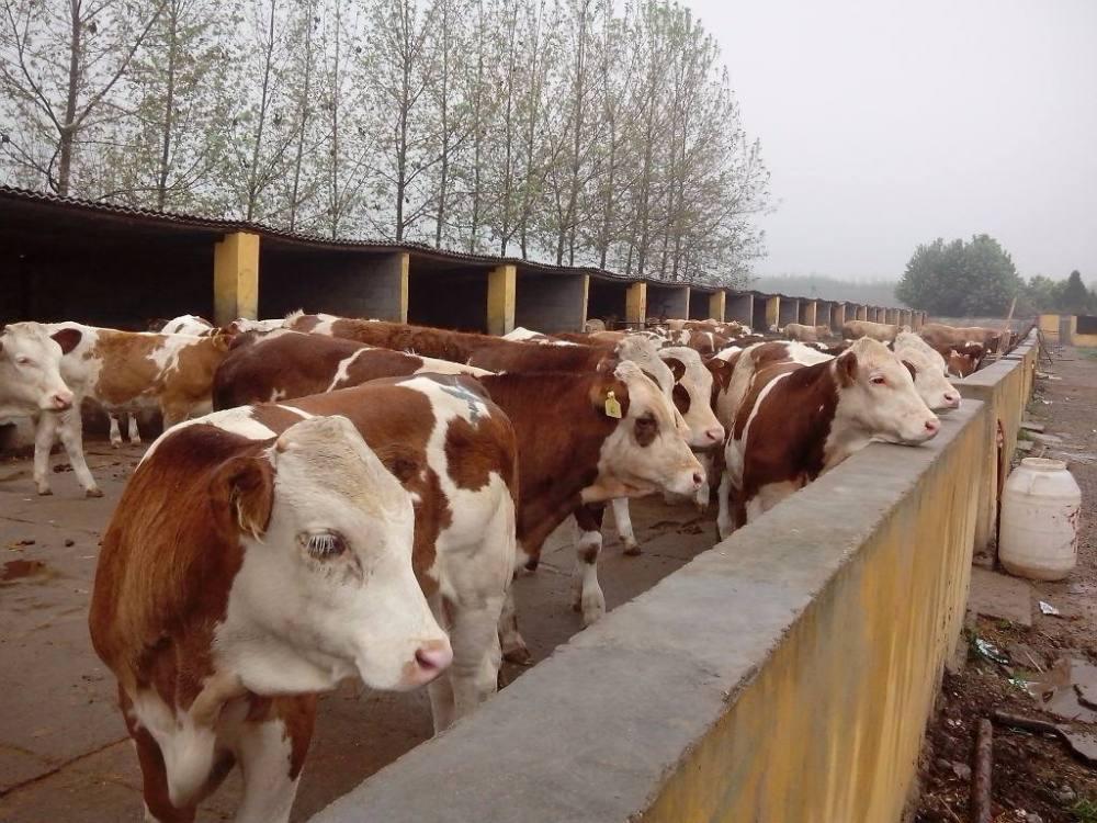 怎么实现母牛一年一犊