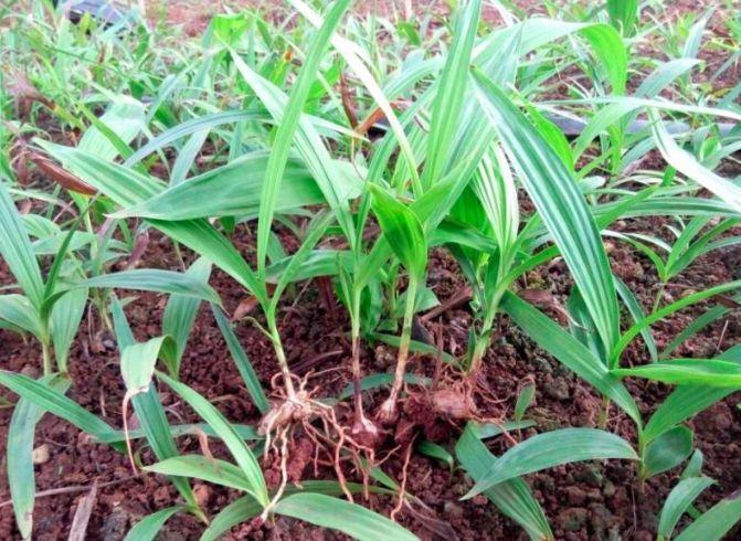 御贵草白芨种植迅速的在市场当中脱颖而出