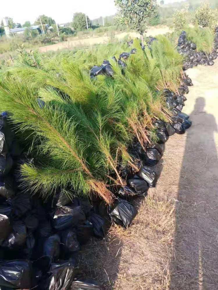 舞钢市湿地松苗供应_河南偃师湿地松-美洋洋绿化