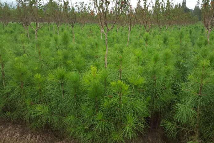 湖北湿地松供应_精品湿地松苗大型基地-随州希望苗圃