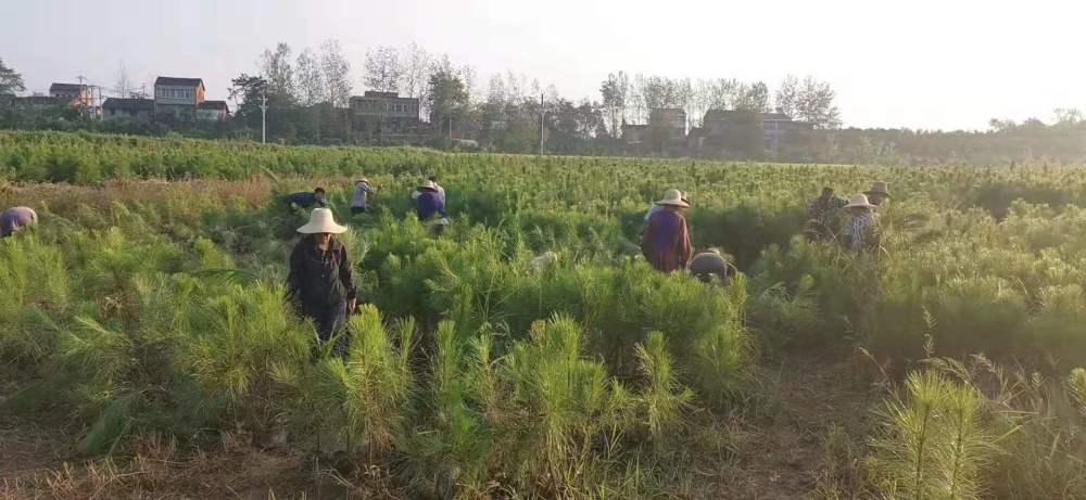 福州湿地松苗供应_优质湿地松-随州希望苗圃