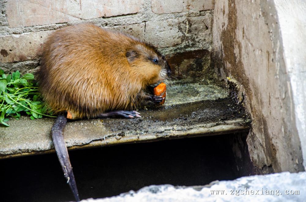 麝香鼠养殖关于麝香鼠夏日添加剂的妙用