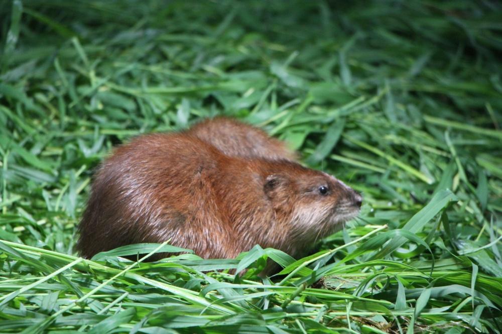 麝香鼠养殖使用霉变饲料喂养麝香鼠的危害