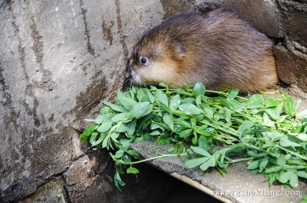 辛集市麝香鼠养殖基地 麝香鼠麝香的作用跟市场