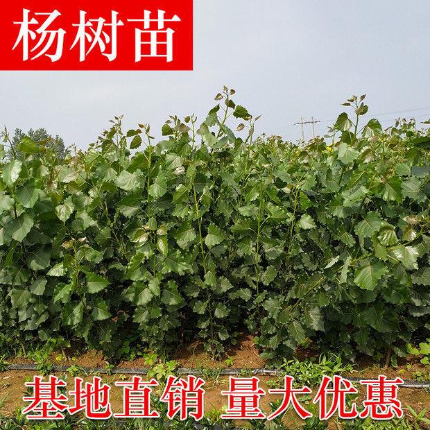 黄冈速生白杨树苗-孝感白杨树苗供应-美洋洋绿化