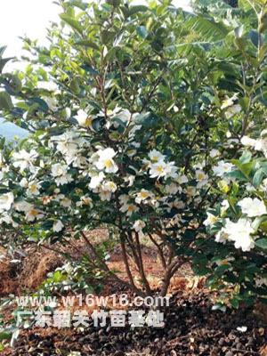 供应商供应优质白花油茶苗,红花油茶苗