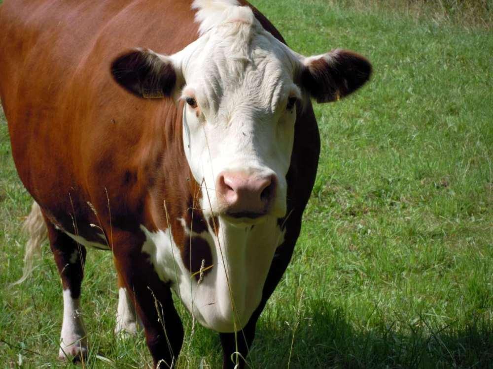 牛吃东西正常越来越瘦
