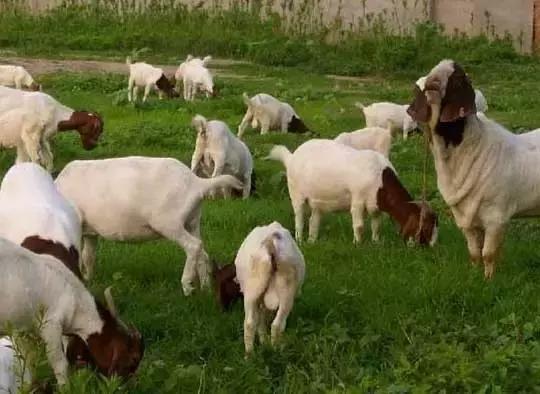 羊涨肚子怎么快速解决,羊涨肚子怎么放气