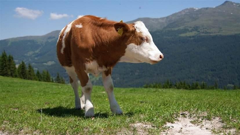 肉牛喂白糖怎么能催肥