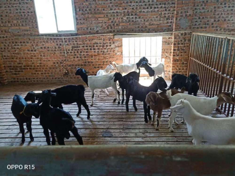 如何养羊,羔羊的养殖技术和管理方法