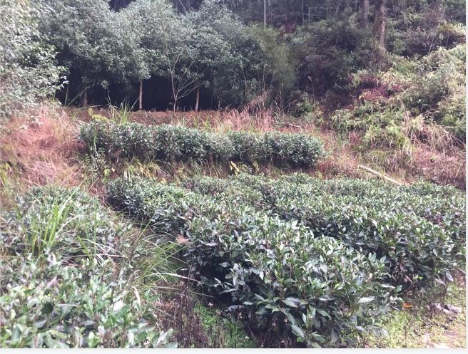 中国十大名茶白茶、荆门白茶、王树章茶业有限公司(查看)